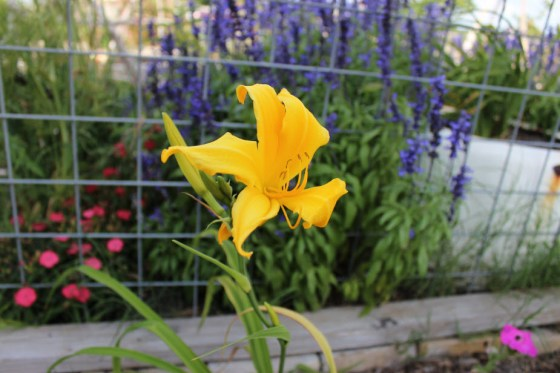 My Hyperion daylilies were passed to us by Sally's grandmother.  These tough and reliable plants provide me a solid month of blooms each May.