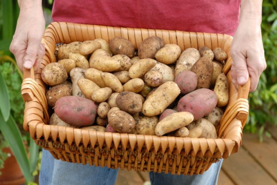 Potato-harvest