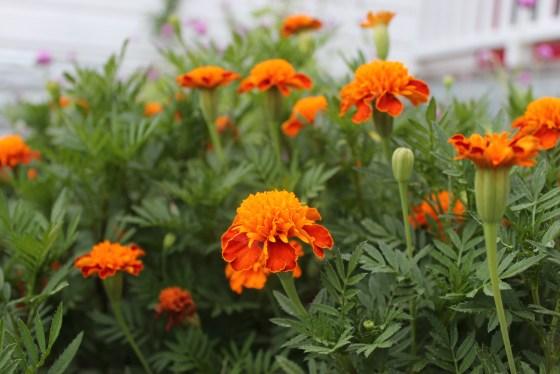 marigolds-1