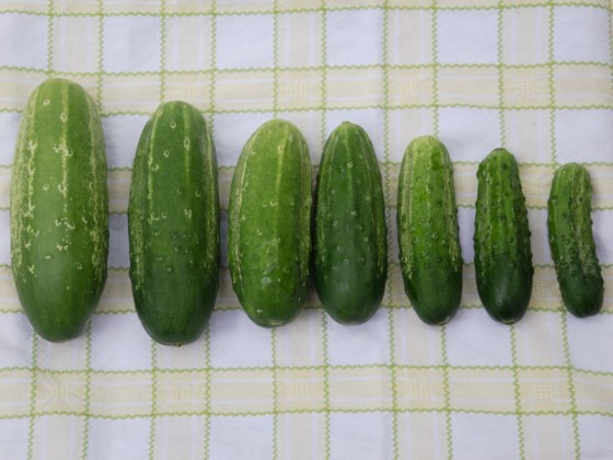 pickling-cucumbers
