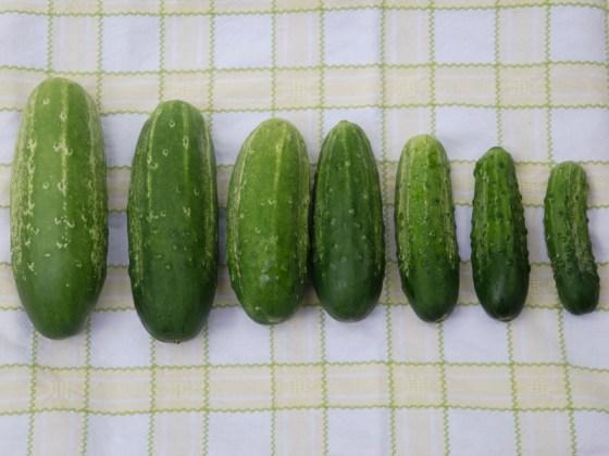 pickling-cucumbers
