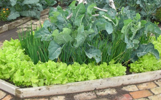 Now is a great time to plant lettuce from seed and shallots.  I grow them together in the beds of my potager.