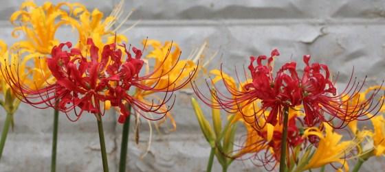 lycoris-aurea-4