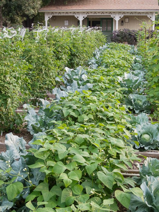 interplanting-beans