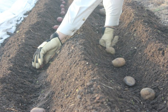 February is not the only time you can plant potatoes in Texas. Save some of your harvest this year and try them in the fall.