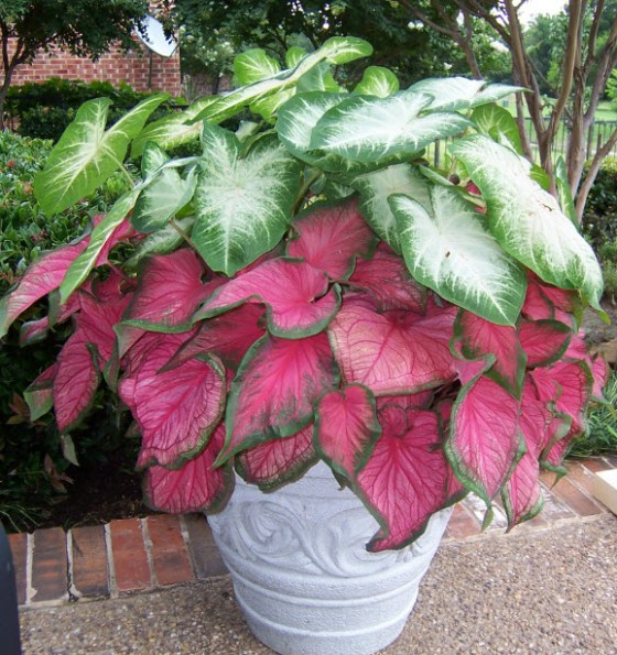 Potted-Caladiums