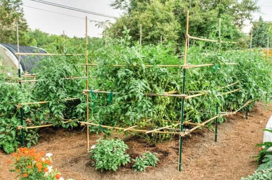 Natural-Gardener-Tomatoes