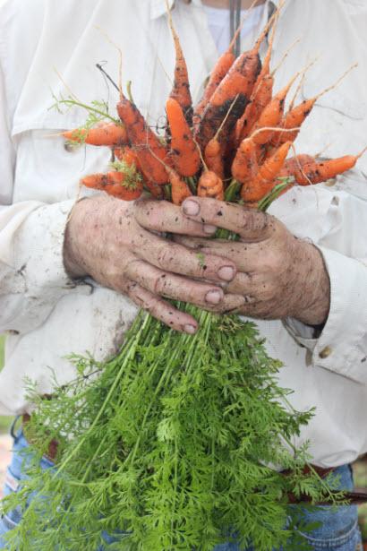 danvers-carrots