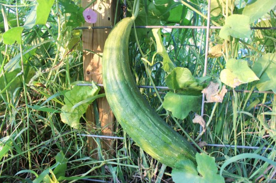 Here is our giant luffa on Sept. 1. Well over 2 feet!