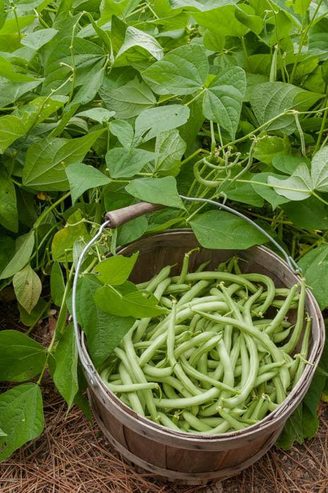 Butterbeans, green beans, peanuts, cowpeas, soybeans, fava beans, garden peas