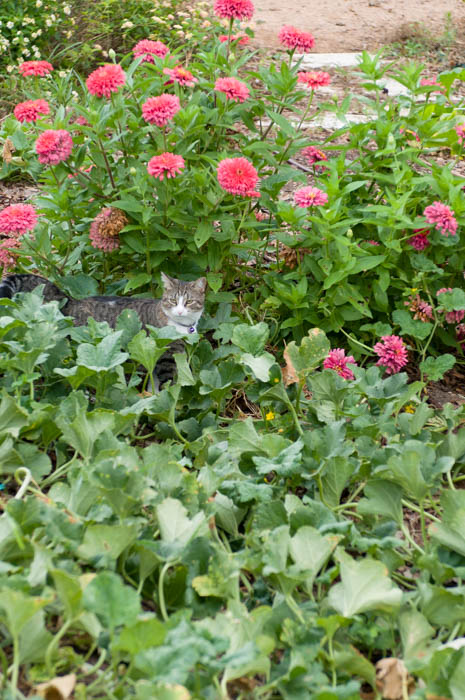 zinnias-vegetable-garden