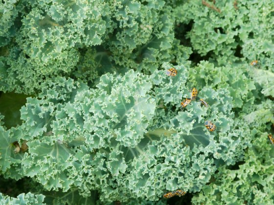 harlequin-bugs-kale