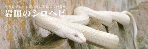 岩国のシロヘビ