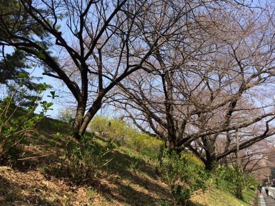 山崎製パンの株主総会の会場と四ツ谷駅の間の桜