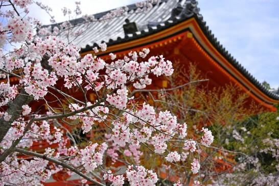 京都の寺と桜