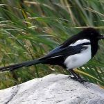 Magpie from http://upload.wikimedia.org/wikipedia/commons/d/d0/Magpie.arp.750pix.jpg