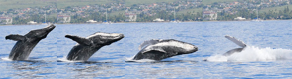 Humpback Whale breaches off Lahaina, Maui.