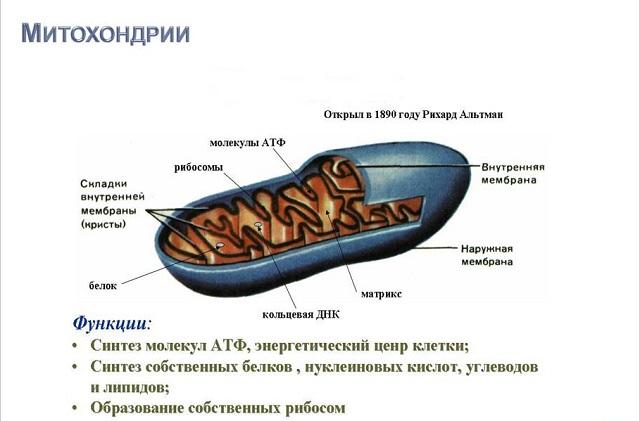 Митохондрии_640