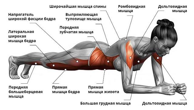 Мышцы задействованные при выполнении упражнения планка на локтях