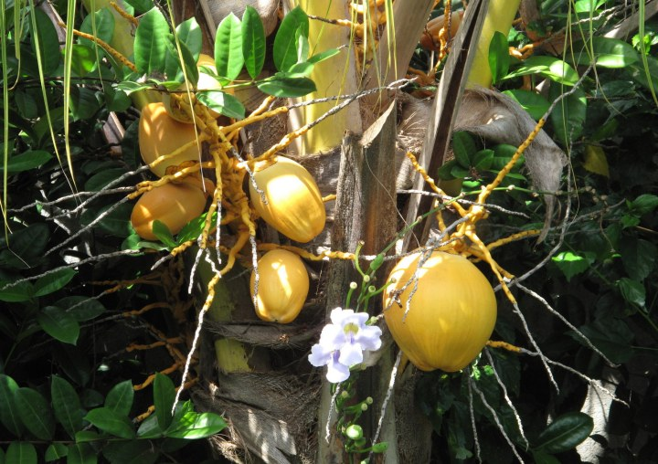 Желтый кокос на пальме