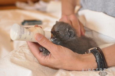 Kitten bottle feeding, from Humane Society of Southern Arizona