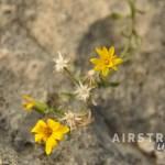 Seminole Canyon wildflowers-4
