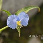 Seminole Canyon wildflowers-7