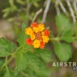 Seminole Canyon wildflowers-8