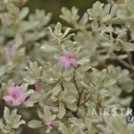 Seminole Canyon wildflowers-9
