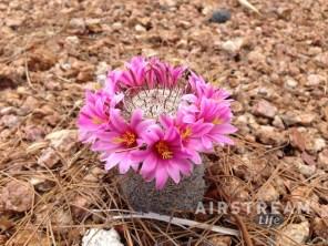 Desert flowers-1