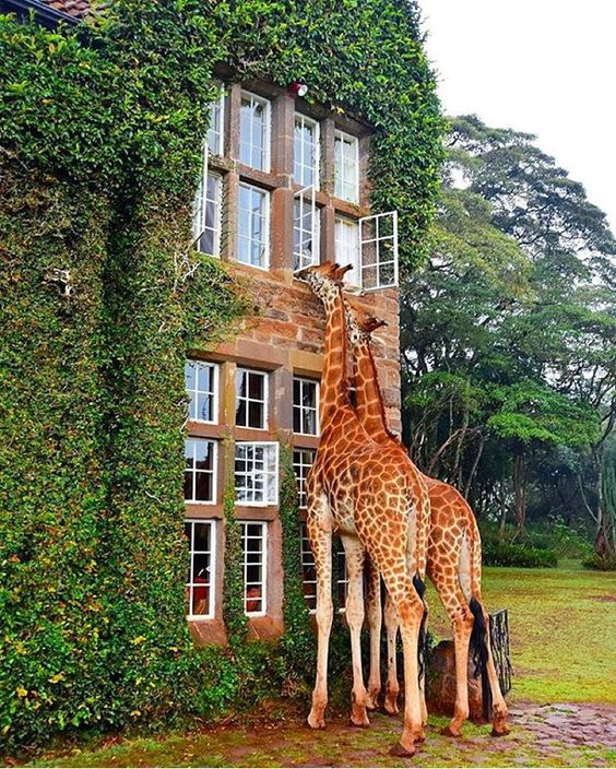 Wellness-giraffe manor