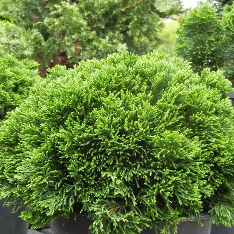 Large Of Dwarf Hinoki Cypress