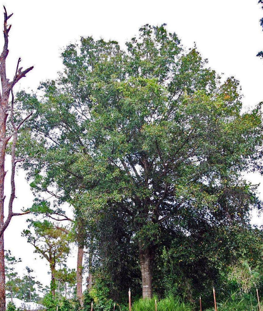 Dark Florida Native Plants Blog Archive Laurel Oak Laurel Oak Tree Leaves Laurel Oak Tree Identification Laurel Oak Landscaping houzz-03 Laurel Oak Tree