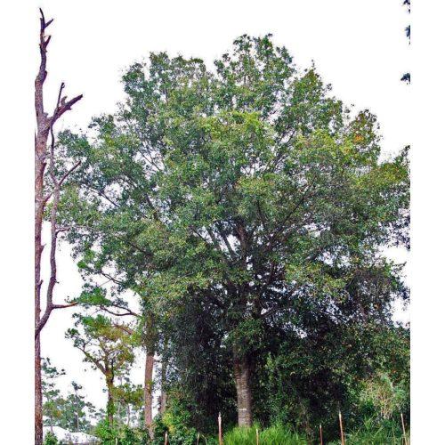 Medium Crop Of Laurel Oak Tree