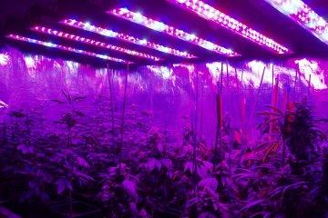 ¿Legalizar la marihuana la haría un cultivo sustentable?