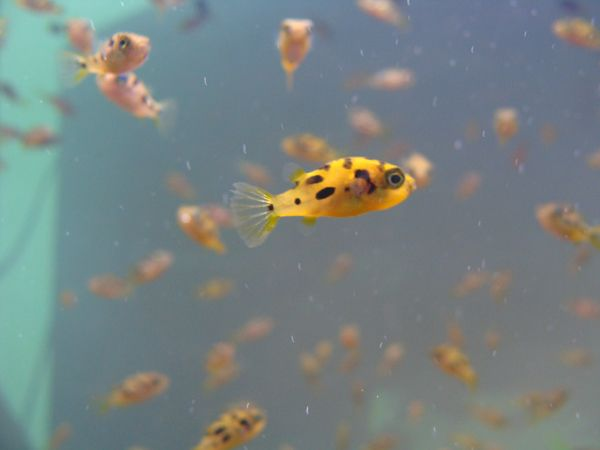 freshwater fish plundered for aquarium trade in India | Freshwater