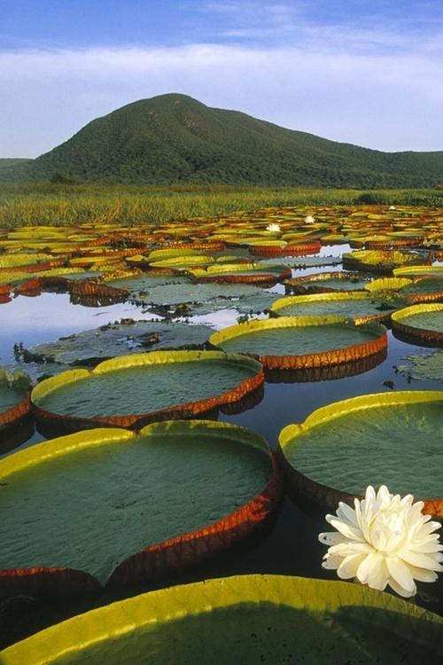 Vitoria Regia Water Lily at Pantanal Matogrossense, Brazil