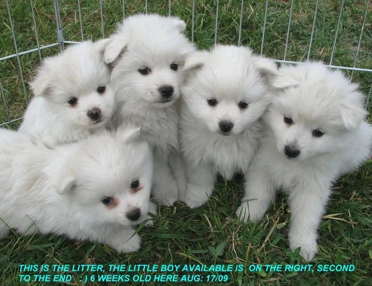 American-eskimo-puppies