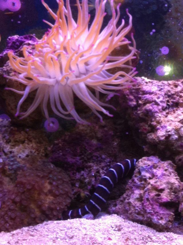Sea anemone | Saltwater Aquarium | Pinterest