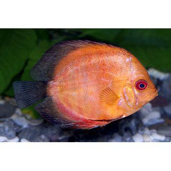 Discus fish petco via gardenia discus fish symphysodon for Freshwater fish petco