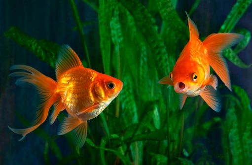 Aquarium Fish For Beginners Beginner Aquarium Fish Fish