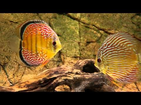beautiful Discus fish set up! | Tropical Fish   Freshwater Aquariums
