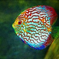 discus - Kenny's Discus Fish for Sale
