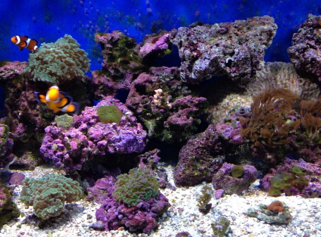 75 Gallon Mixed reef aquarium | Reef Aquariums | Pinterest