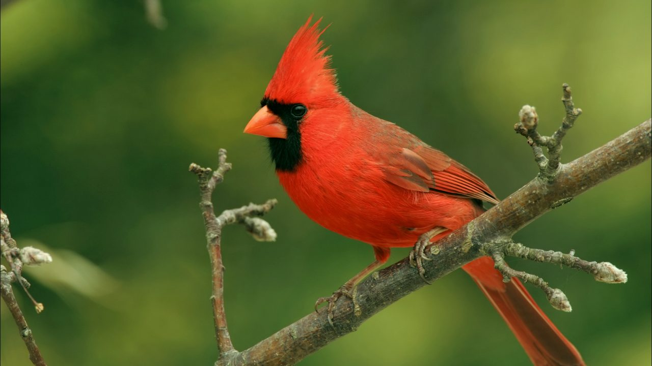 Cardinals  Some think these birds are visits from departed loved     Cardinals  Some think these birds are visits from departed loved ones    WJAX TV