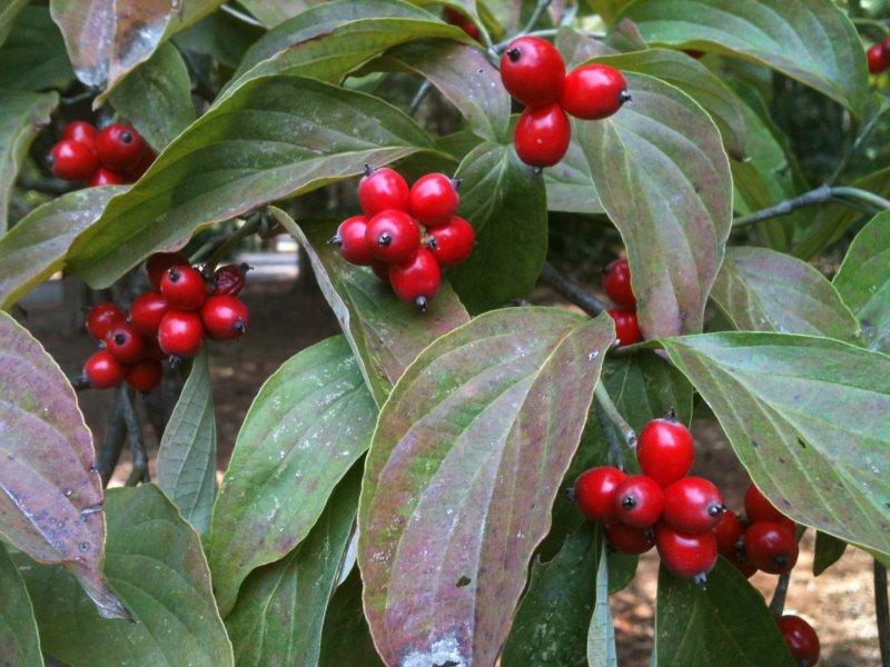 Large Of Kousa Dogwood Fruit