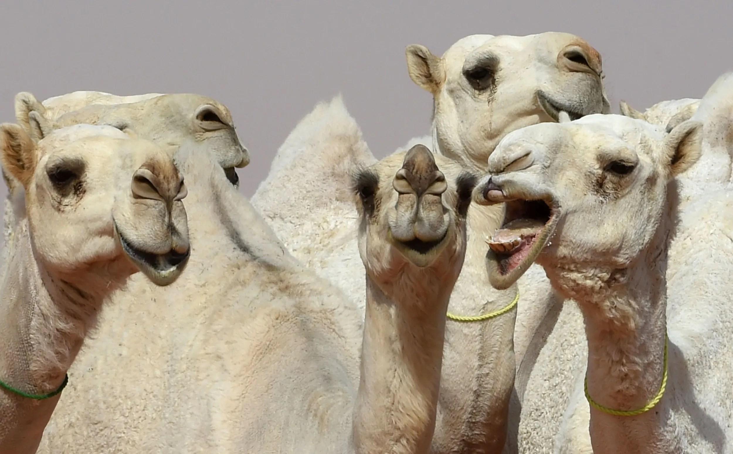 Fullsize Of Camel Camel Camel