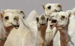 Small Of Camel Camel Camel