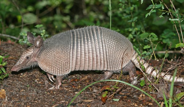 Wikipedia Commons B B4 Nine-Banded Armadillo