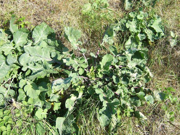 1280px-Brassica_oleracea0